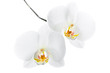 Phalaenopsis. Two white orchid flowers on isolated on white