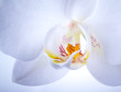 Phalaenopsis. White orchid flower macro with water drops