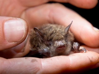 Bat in hand of researcher