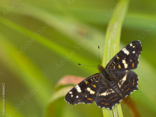 Beautiful map butterfly is resting on grass with copyspace