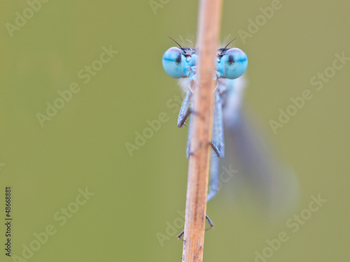 Enallagma cyathigerum common blue damselfly