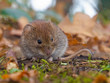 Bank vole hiding between the leaves