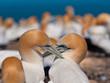 socializing gannets