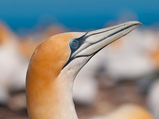 Close up of an australasian gannet