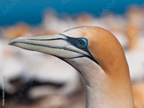 Close up Gannet head