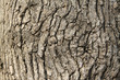 closeup of pagoda tree bark in the wild