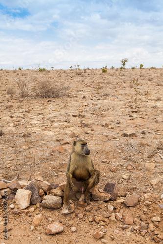 Baboon in Kenya