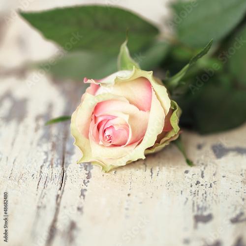 einzelne rosa Rose © Tanja
