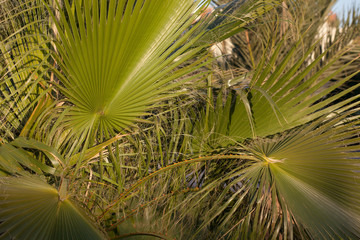 Sabal palmetto‎