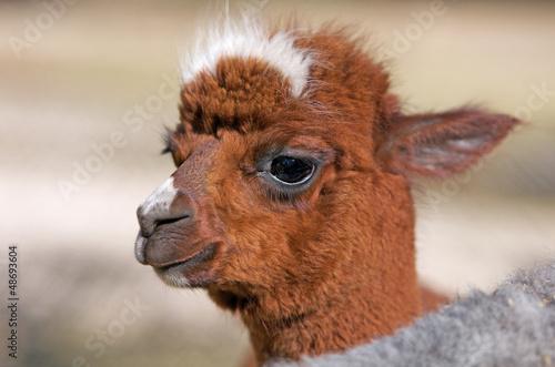 Fotobehang Lama portrait of a baby alpaca