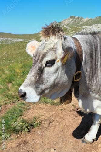 mucca - cow closeup