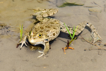 Big toad in the pond