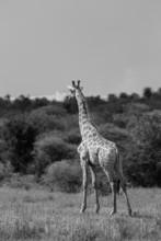 Girafes d'Afrique en liberté