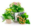 spring flowers with green leaves in bucket isolated on white