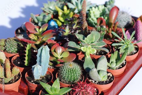 Plantas crasas y cactus varias especies variedades por for Cactus variedades