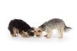 chiens yorkshire mangeant