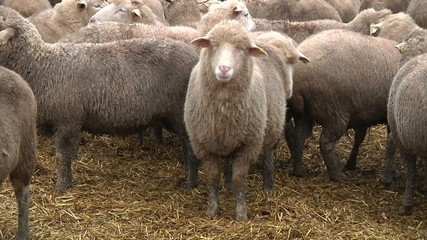sheeps on the farm 1