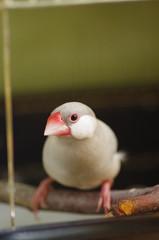 文鳥のメス ‐padda oryzivora‐