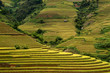 terrced rice fields - gold terraced rice fields in Mu Cang Chai
