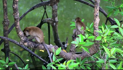 Monkeys sitting on mangrove trees