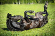 Black horse rolls on the grass