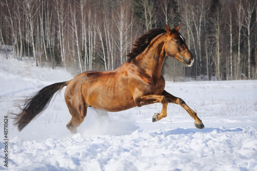Golden red horse runs gallop in winter time