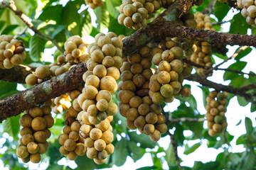 Fresh young Longkong (langsat) on tree