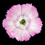 Macro of Pinks wild flower isolated on black