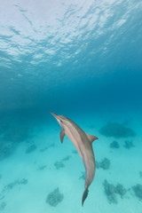 Spinner dolphin (stenella longirostris) in the Red Sea.