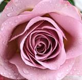 Fototapety Schöne, violette Rose