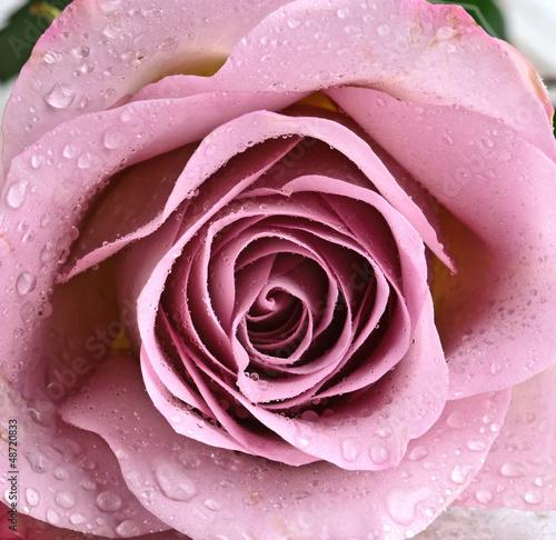 piekna-purpurowa-roza