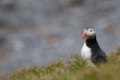 An isolated Puffin portrait in Iceland