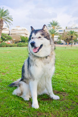 Large Alaskan Malamute on the lawn