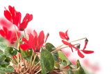 Red cyclamen flower, bokeh