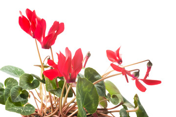 Red cyclamen flower, Isolated
