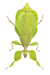 leaf insect isolated on white background