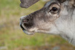 Reindeer close up portrait in Svaldard Island