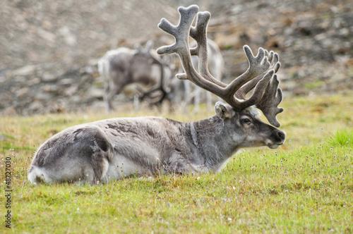 Reindeer resting in Svaldard Island