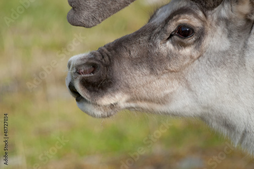 Reindeer close up portrait in Svaldard Island