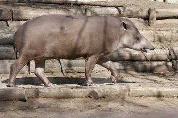 Animale - Tapiro