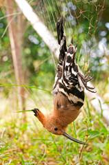 Bird caught in a net