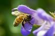ape su fiore di salvia