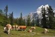 Kühe am Dientner Sattel