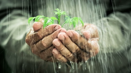 Old man`s hands holding young plant in the rain