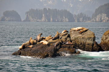 Colony of sea lions at Resurrection Bay (Alaska)
