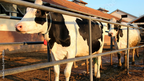 Milking Cows at a Dairy Farm