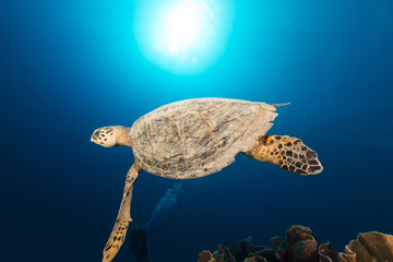 Hawksbill turtle and tropical reef in the Red Sea.
