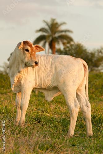zebu calf