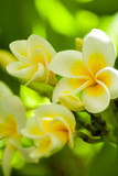 Three frangipani flowers