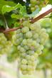 Reife Weinrebe hängt am Weinstock